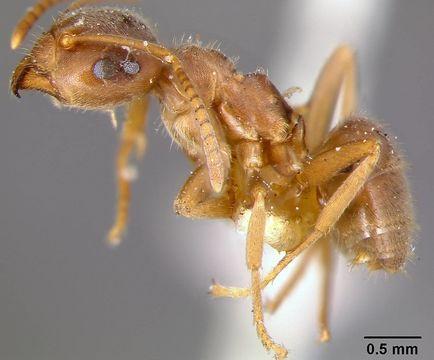 Image of <i>Lasius niger</i> ssp. <i>sitkaensis</i> Pergande