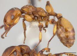 Image of <i>Podomyrma basalis salomo</i> Mann 1919