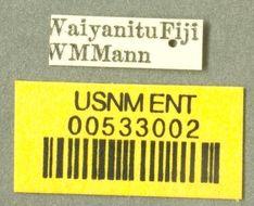 Image of <i>Technomyrmex albipes</i> var. <i>vitiensis</i> Mann