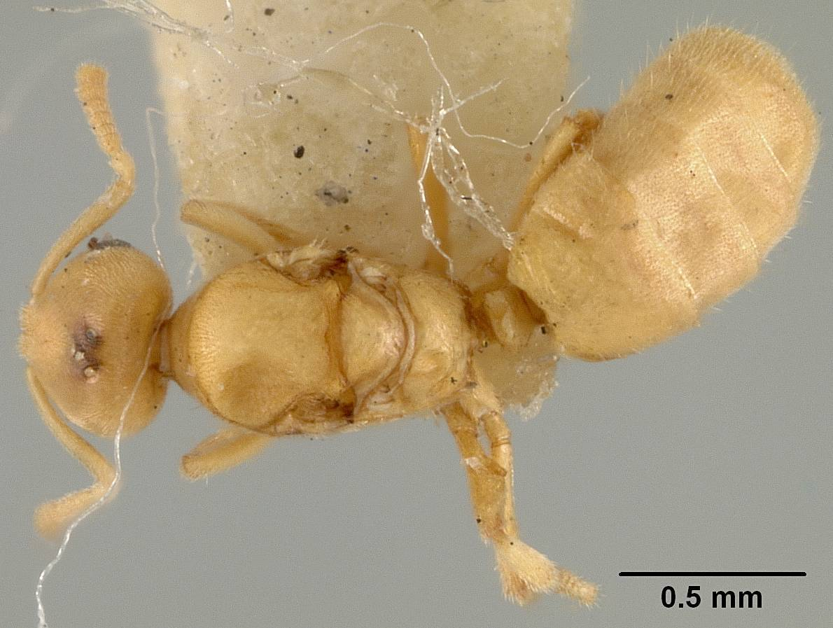 Image of <i>Acropyga wheeleri</i> Mann 1922