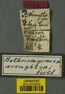 Image of <i>Bothriomyrmex wroughtonii</i> Forel 1895