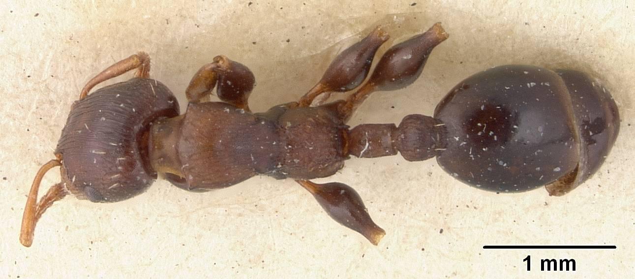 Image of <i>Podomyrma densestrigosa</i> Viehmeyer 1924