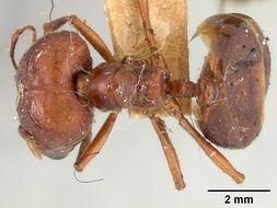 Image of <i>Pheidologeton diversus williamsi</i> Wheeler 1929
