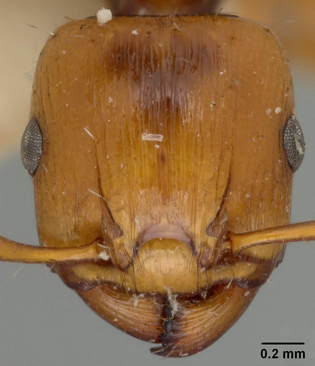 Image of <i>Podomyrma basalis woodfordi</i> Mann 1919