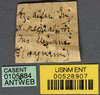 Image of <i>Azteca alfari</i> var. <i>aequalis</i> Forel