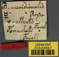 Image of <i>Bothriomyrmex meridionalis</i> var. <i>atlantis</i> Forel