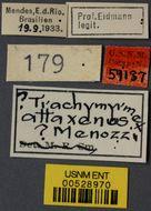 Image of <i>Trachymyrmex attaxenus</i> Menozzi