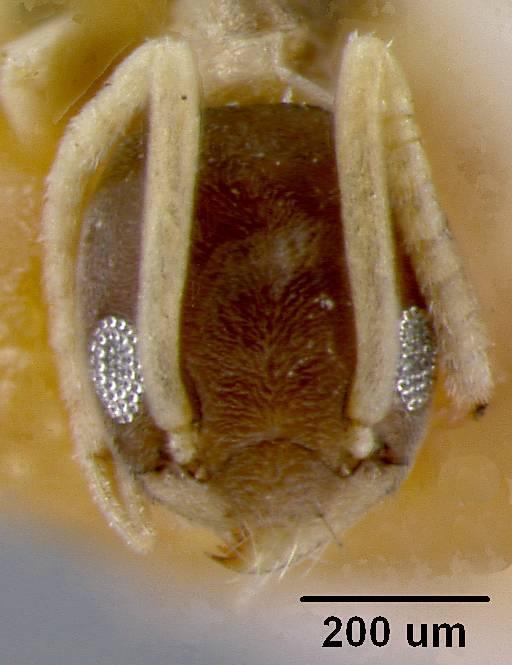 Image of <i>Tapinoma melanocephalum</i> var. <i>australis</i> Santschi