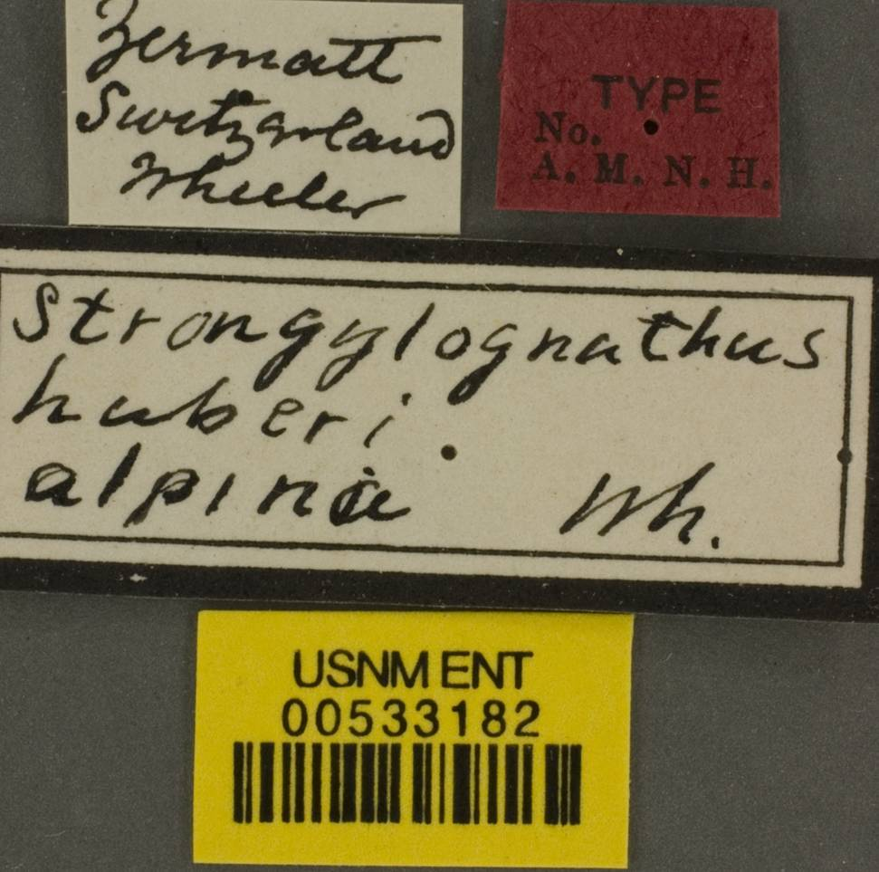 Image of <i>Strongylognathus huberi</i> ssp. <i>alpinus</i> Wheeler