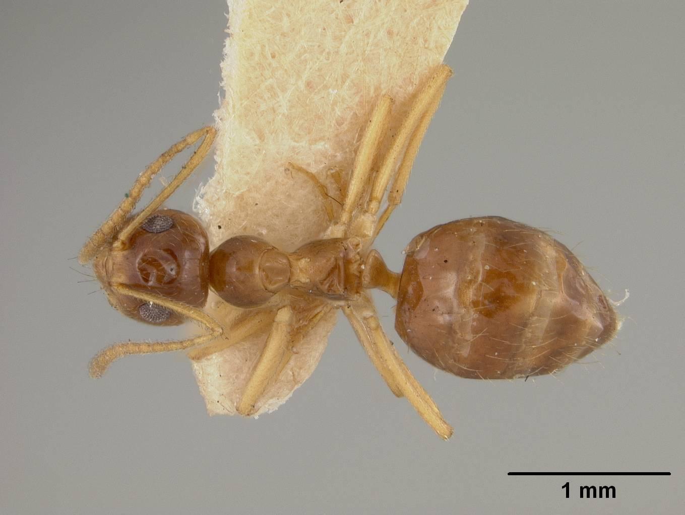 Image of <i>Prenolepis imparis coloradensis</i> Wheeler 1930