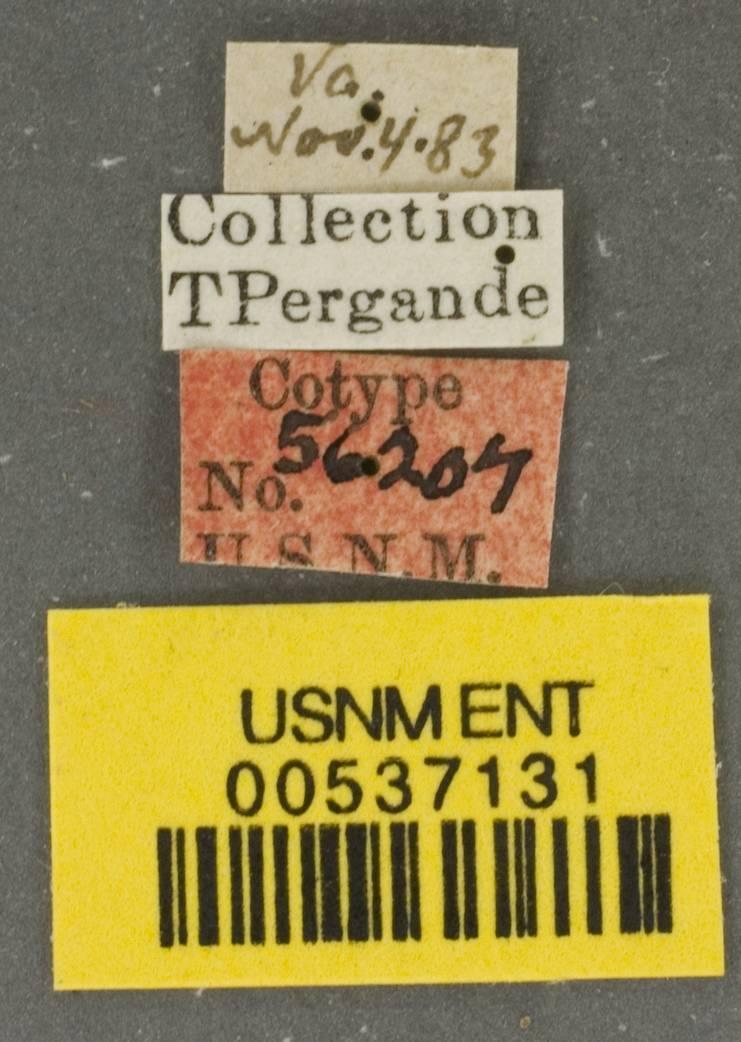 Image of <i>Prenolepis imparis</i> var. <i>testacea</i> Emery
