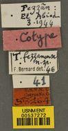Image of <i>Tetramorium fezzanense</i> Bernard 1948