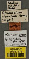 Image of <i>Tetramorium signatum</i> Emery 1895