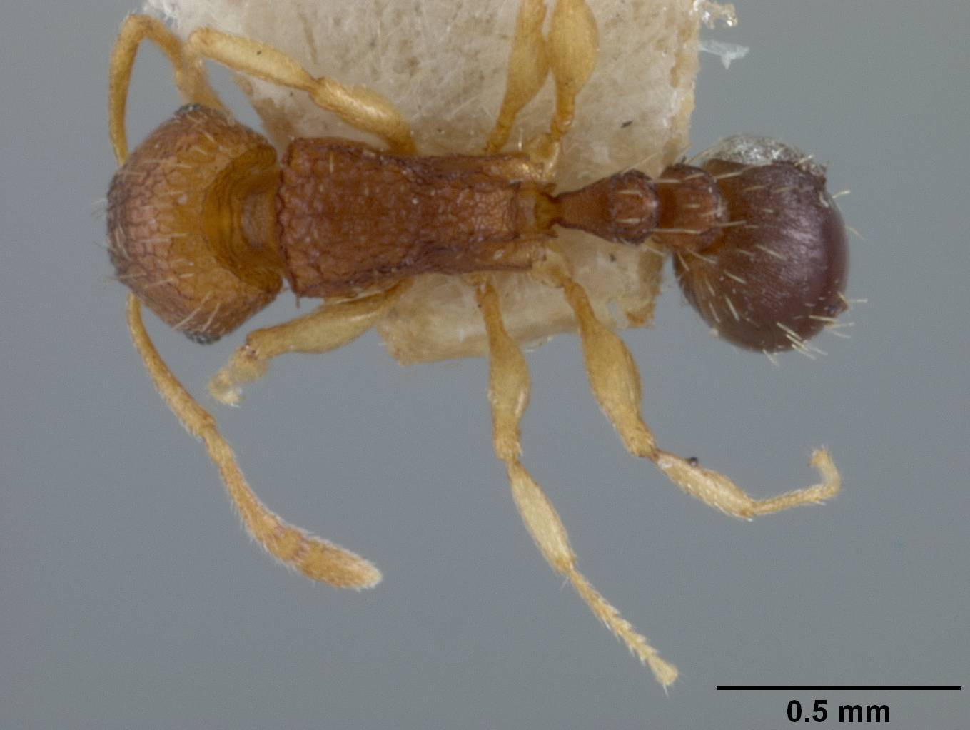 Image of <i>Tetramorium caespitum</i> ssp. <i>ghindanum</i> Forel