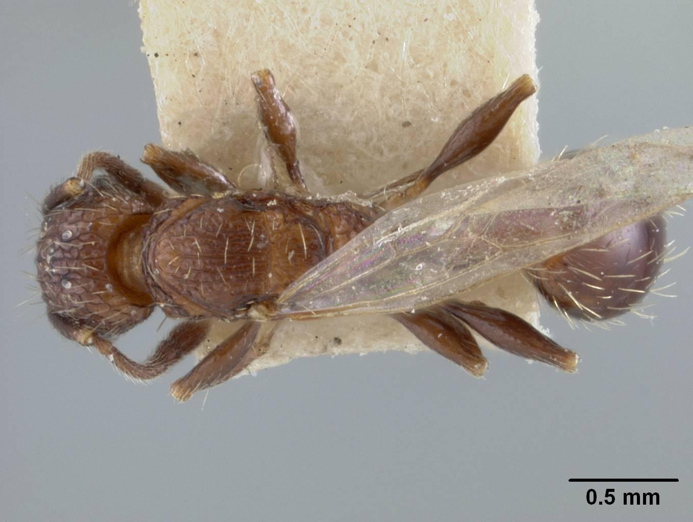 Image of <i>Tetramorium melanogyna</i> Mann 1919
