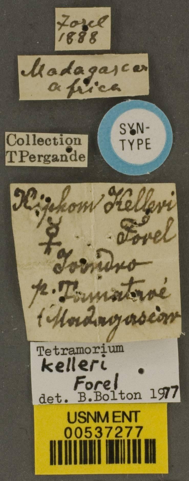 Image of <i>Tetramorium kelleri</i> Forel 1887