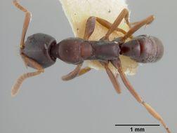Image of <i>Belonopelta deletrix</i> Mann 1922