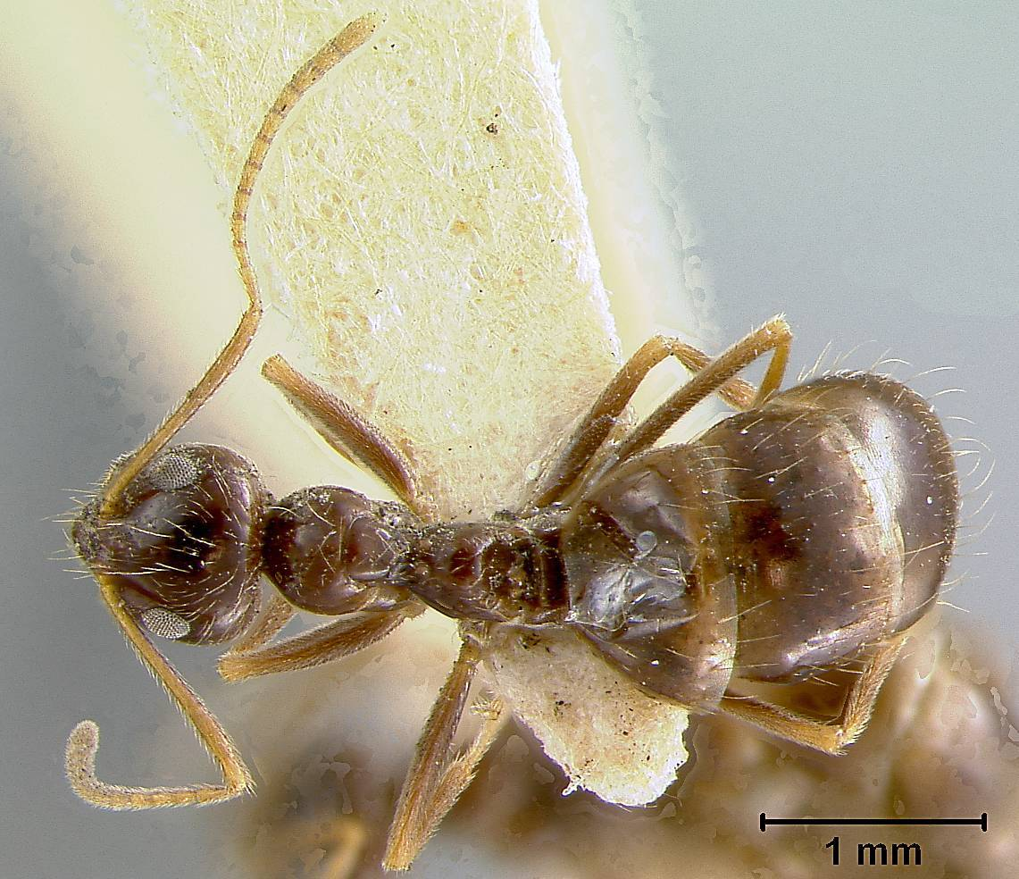 Image of <i>Prenolepis imparis colimana</i> Wheeler 1930