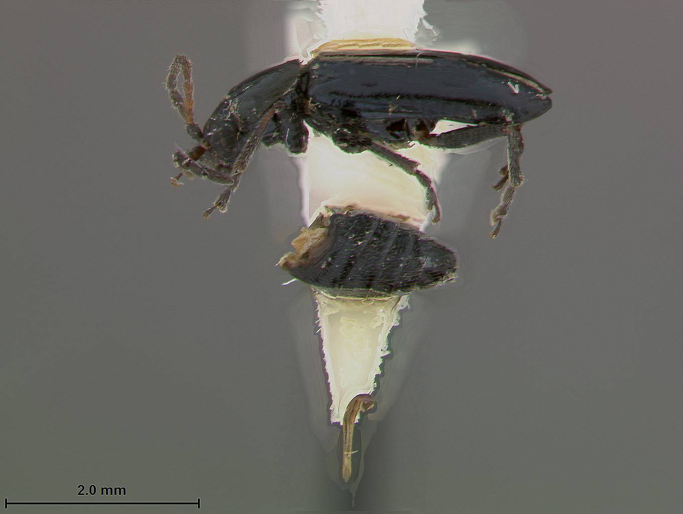 Image of <i>Pseudoluperus bakeri</i> Beller & Hatch
