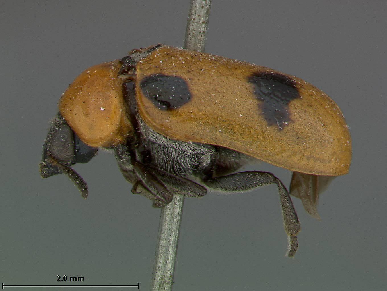 Image of <i>Smaragdina brevicornis</i> Lefevre