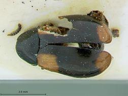 Image of <i>Babia ipsoides</i> Lacordaire