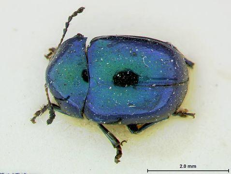 Image of <i>Ischyrolamprina lampros</i> Lefevre