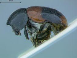 Image of <i>Babia magnicollis</i> Lacordaire