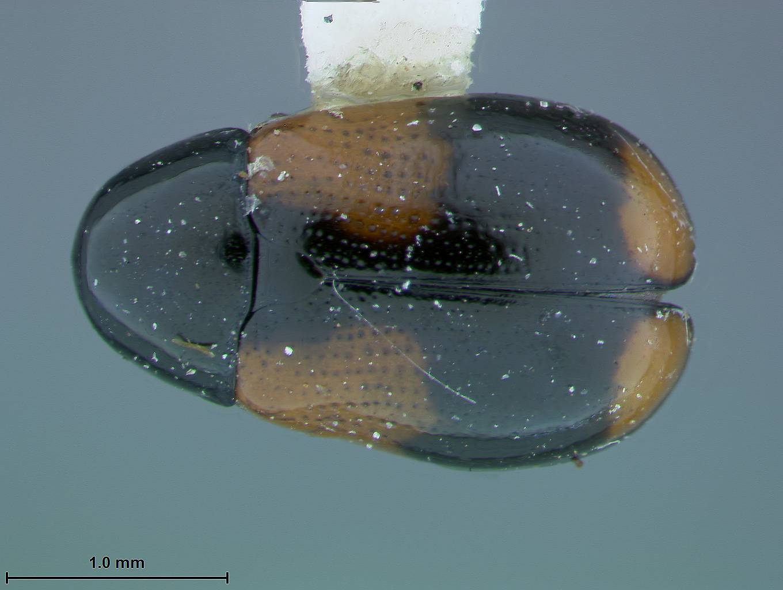 Image of <i>Babia meridionalis</i> Moldenke