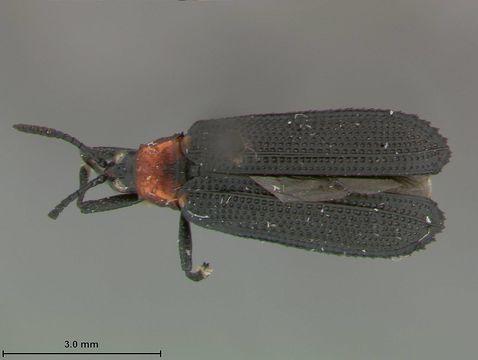 Image of <i><i>Xenochalepus</i></i> (Xenochalepus) <i>robiniae</i> Butte 1968