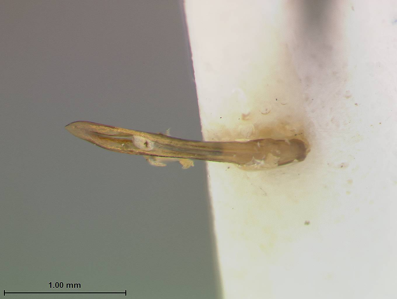 Image of <i>Pseudoluperus wilcoxi</i> Hatch