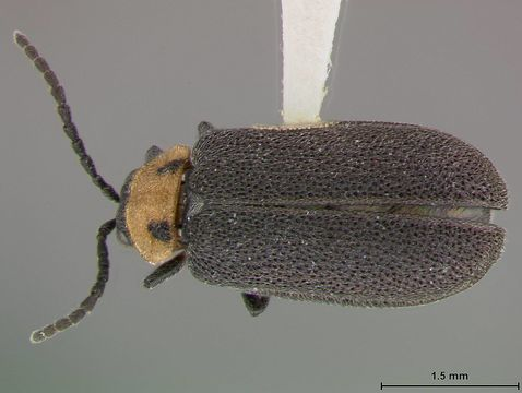 Image of <i>Ophraea maculicollis</i> Blake