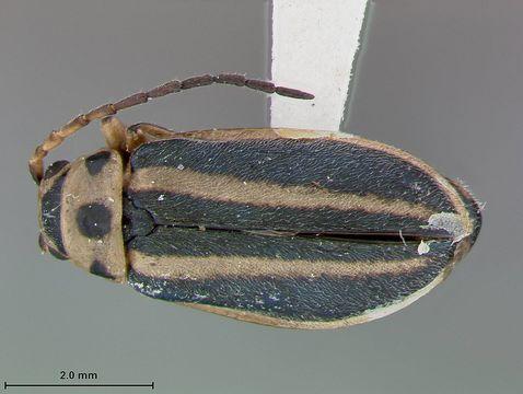 Image of <i>Triphabda neoscotiae</i> Blake