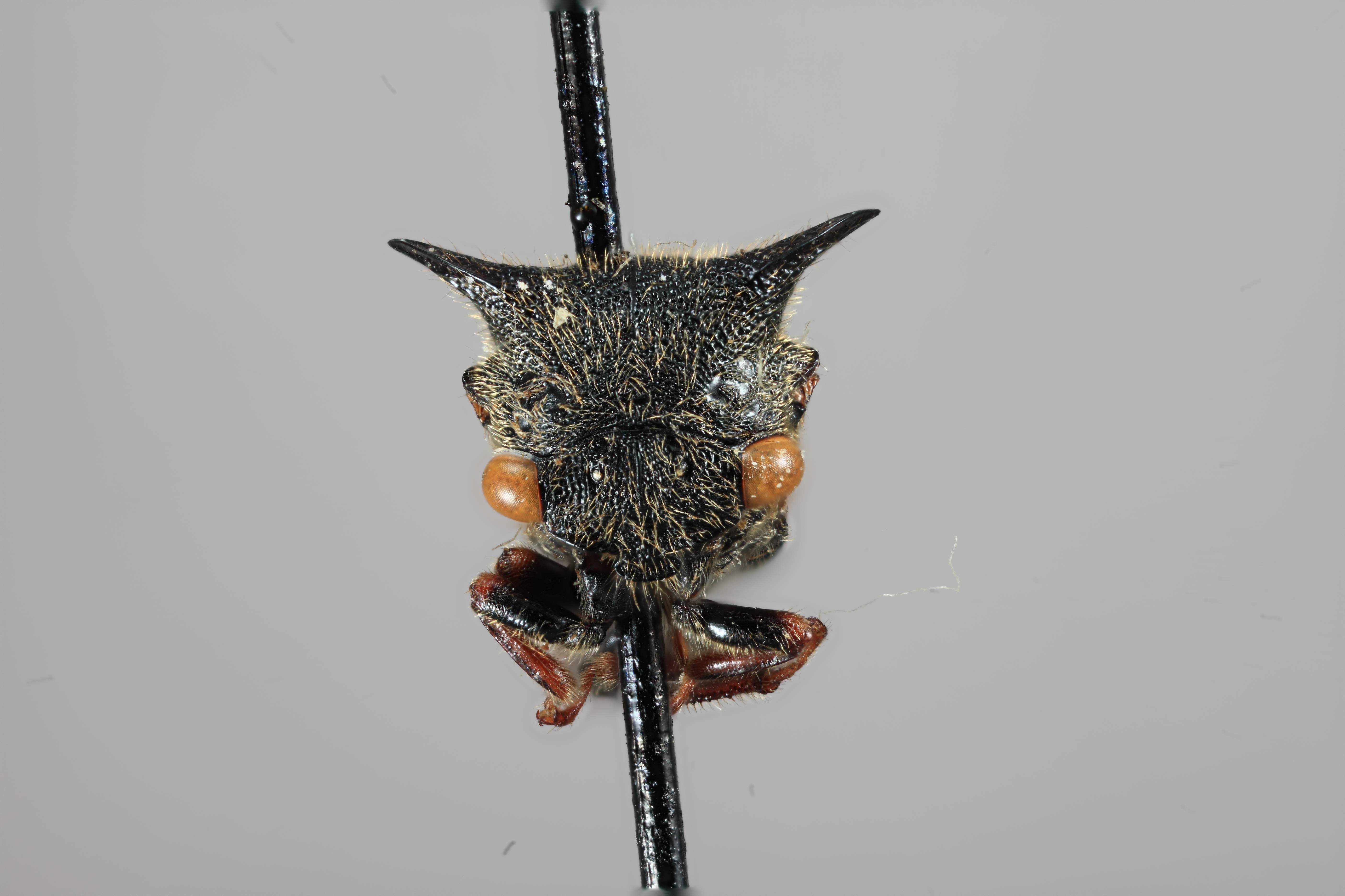 Image of <i>Tricentrus spininervis</i> Funkhouser 1927