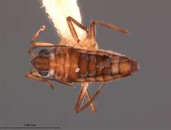 Image of <i><i>Microvelia</i></i> (Microvelia) <i>cubana</i> Drake 1951