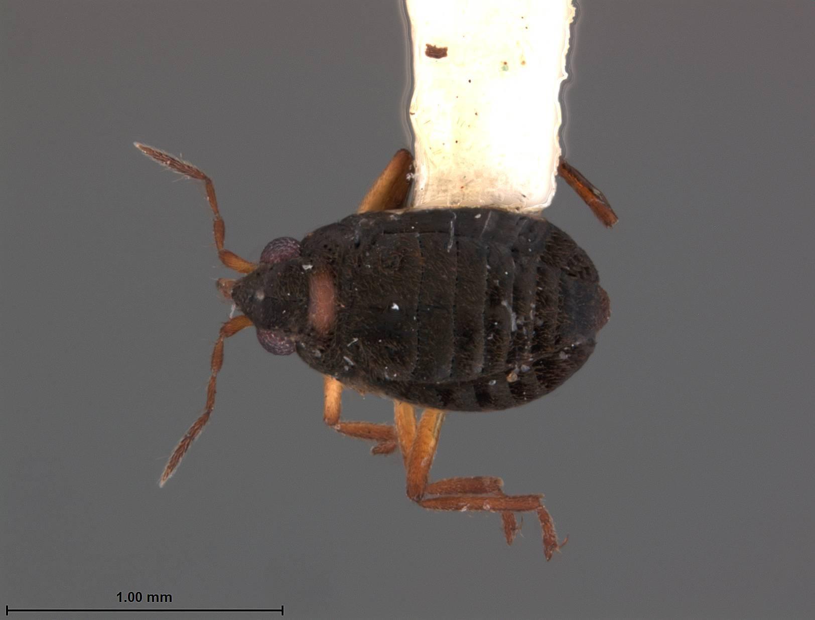 Image of <i><i>Microvelia</i></i> (Microvelia) <i>minima</i> Drake 1952