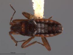 Image of <i>Microvelia oreadis</i> Drake & Harris