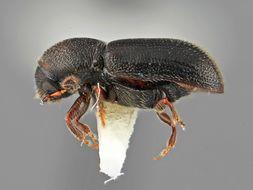 Image of <i>Araptus clematicolens</i> Wood 2007