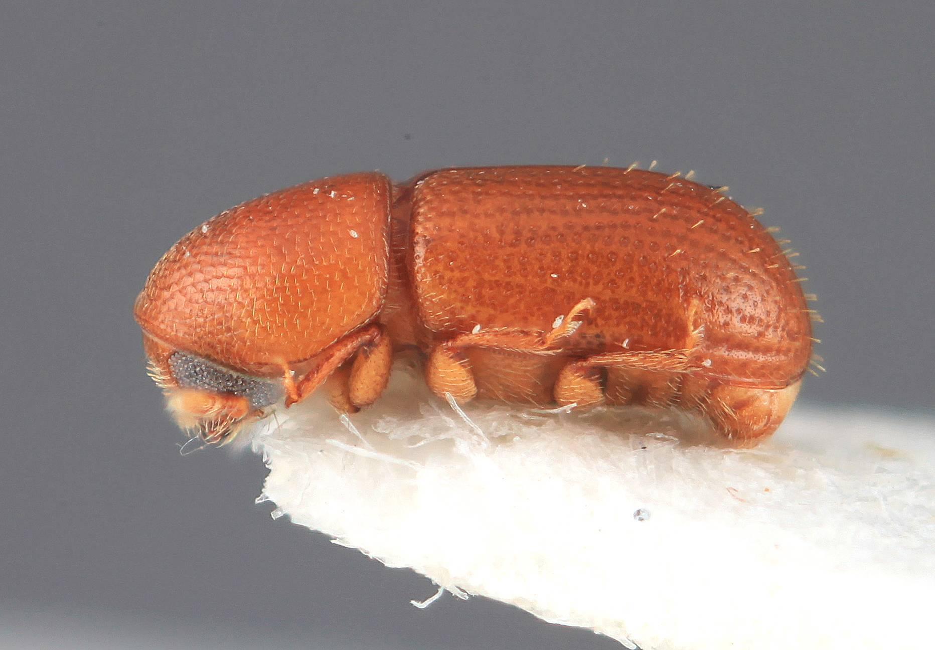 Image of <i>Araptus guyanensis</i> Wood 2007