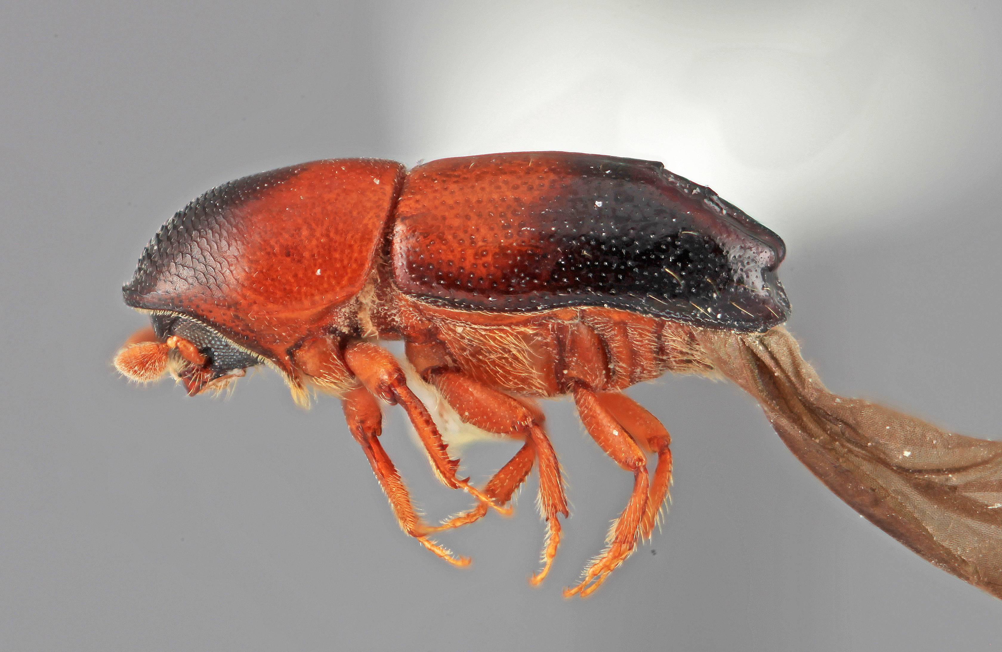 Image of <i>Tricolus subopacus</i> Wood 2007