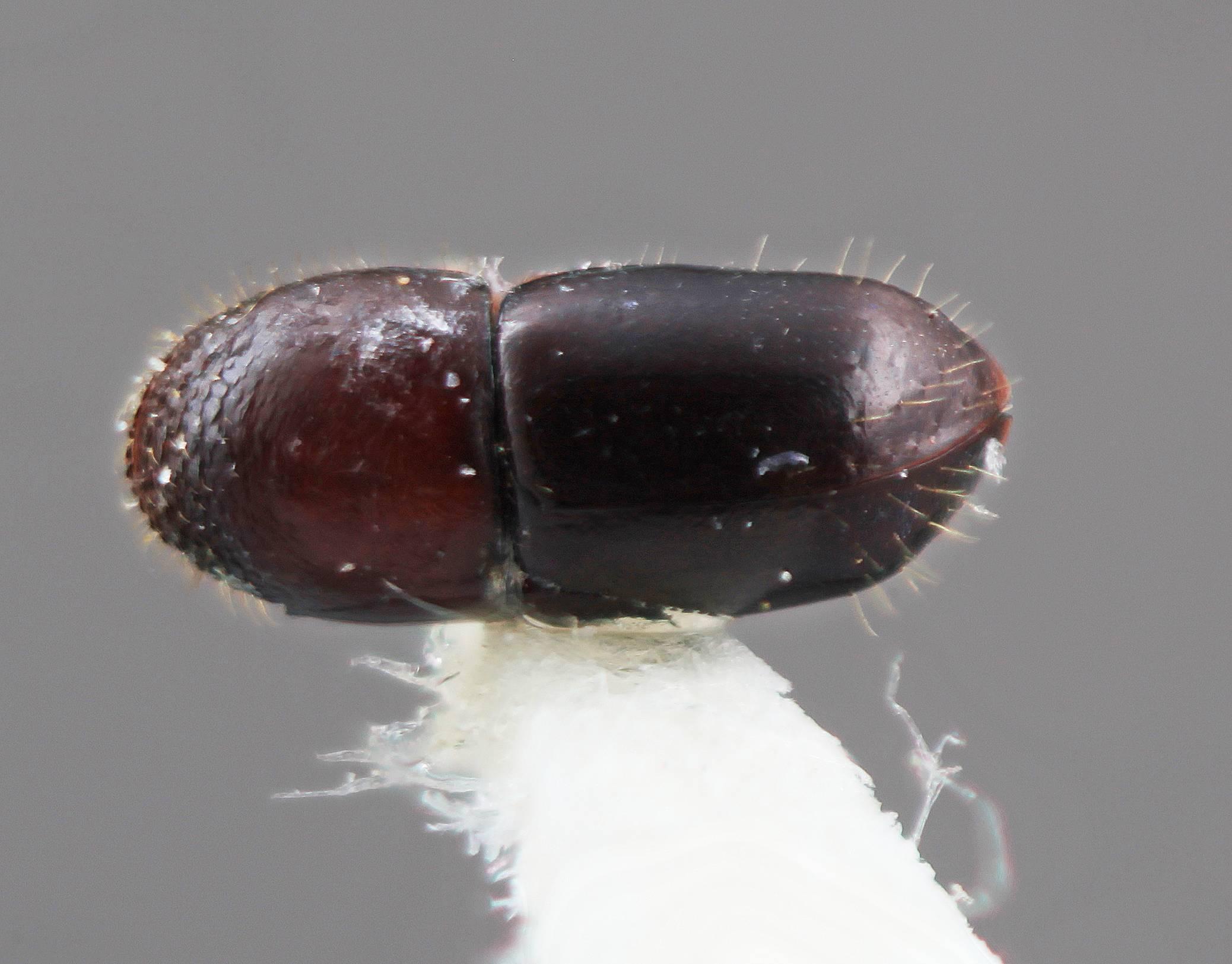 Image of <i>Corthylus annexus</i> Wood 2007