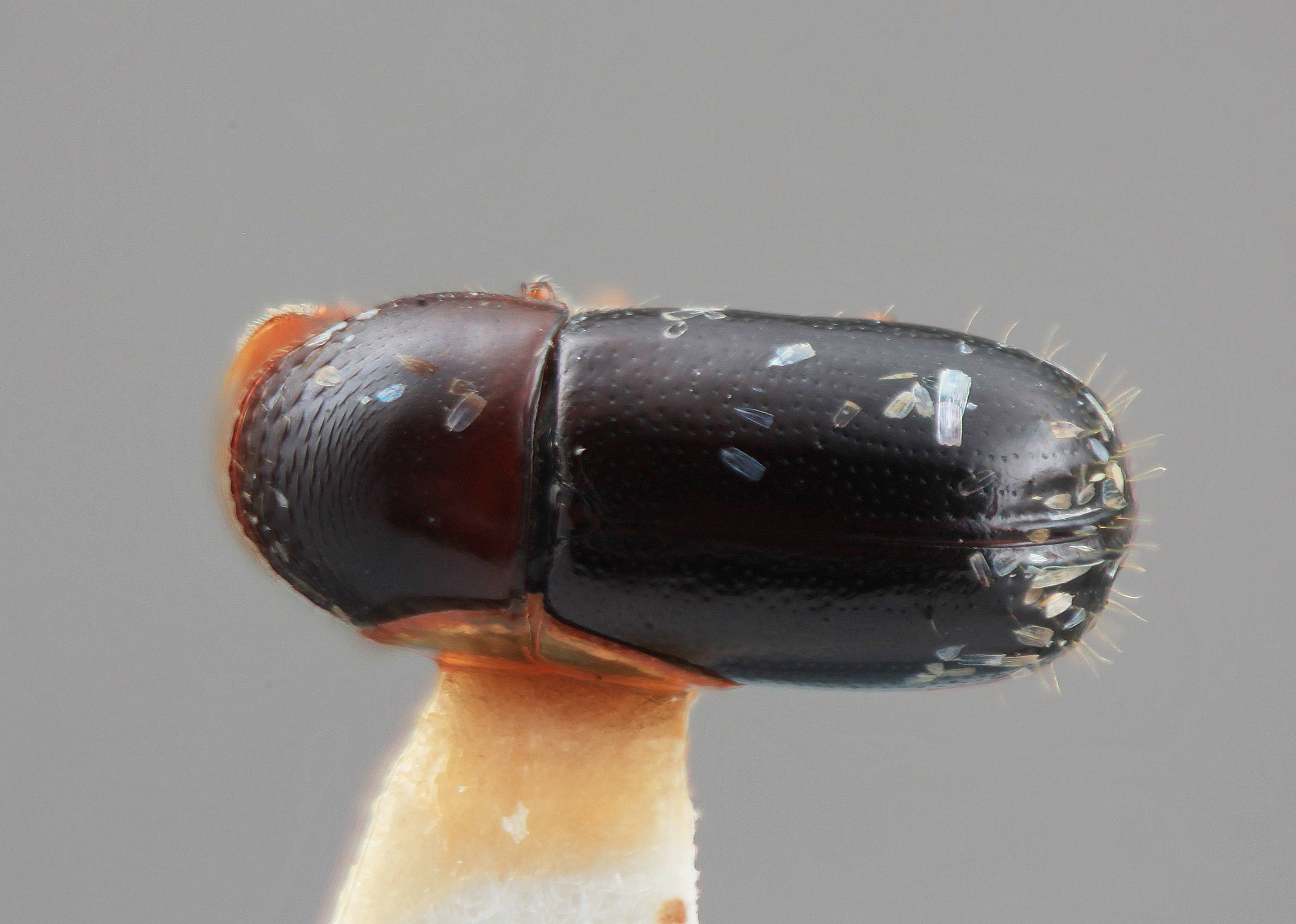 Image of <i>Corthylus splendidulus</i> Wood 2007