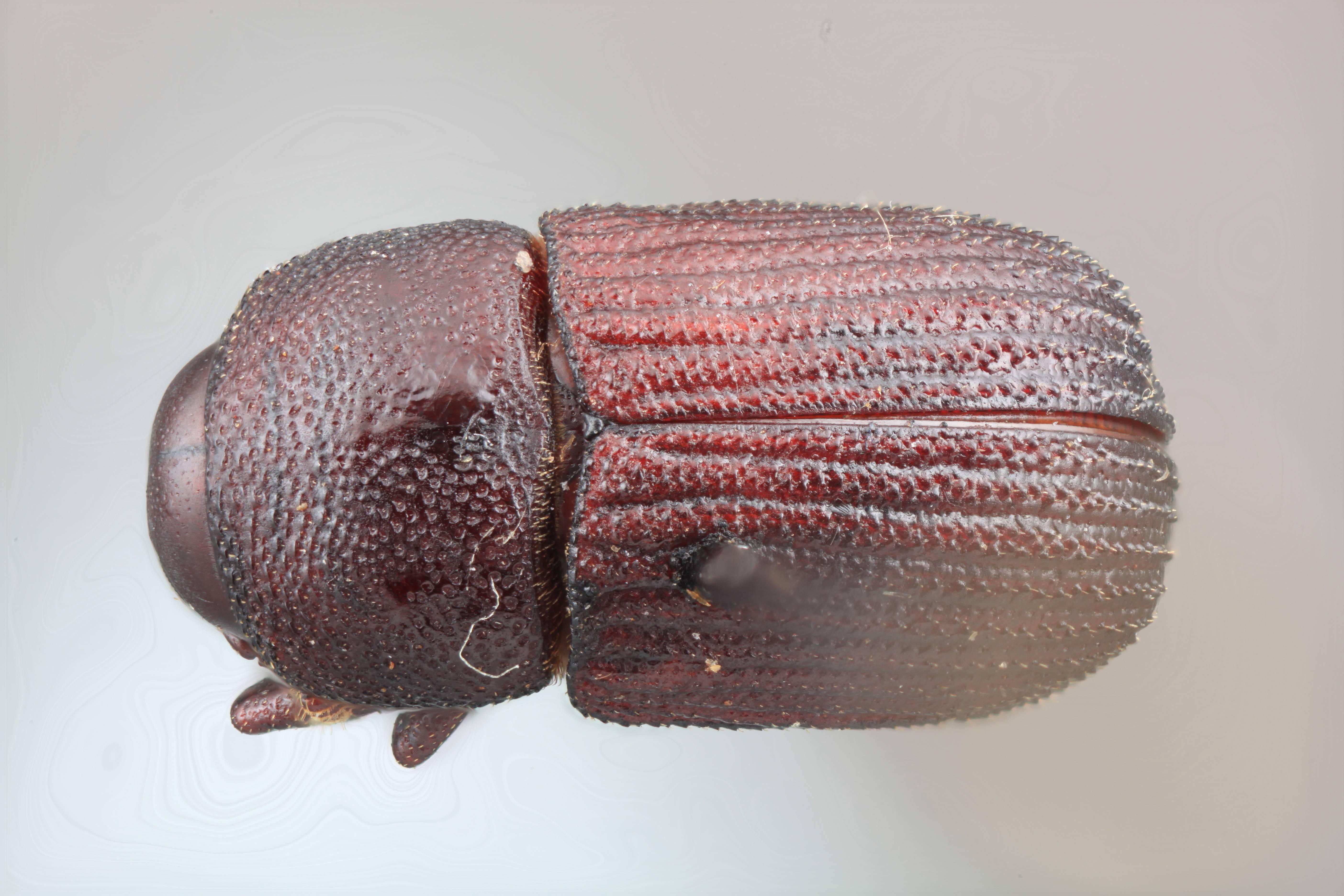 Image of <i>Phloeoborus marahuaci</i> Wood 2007