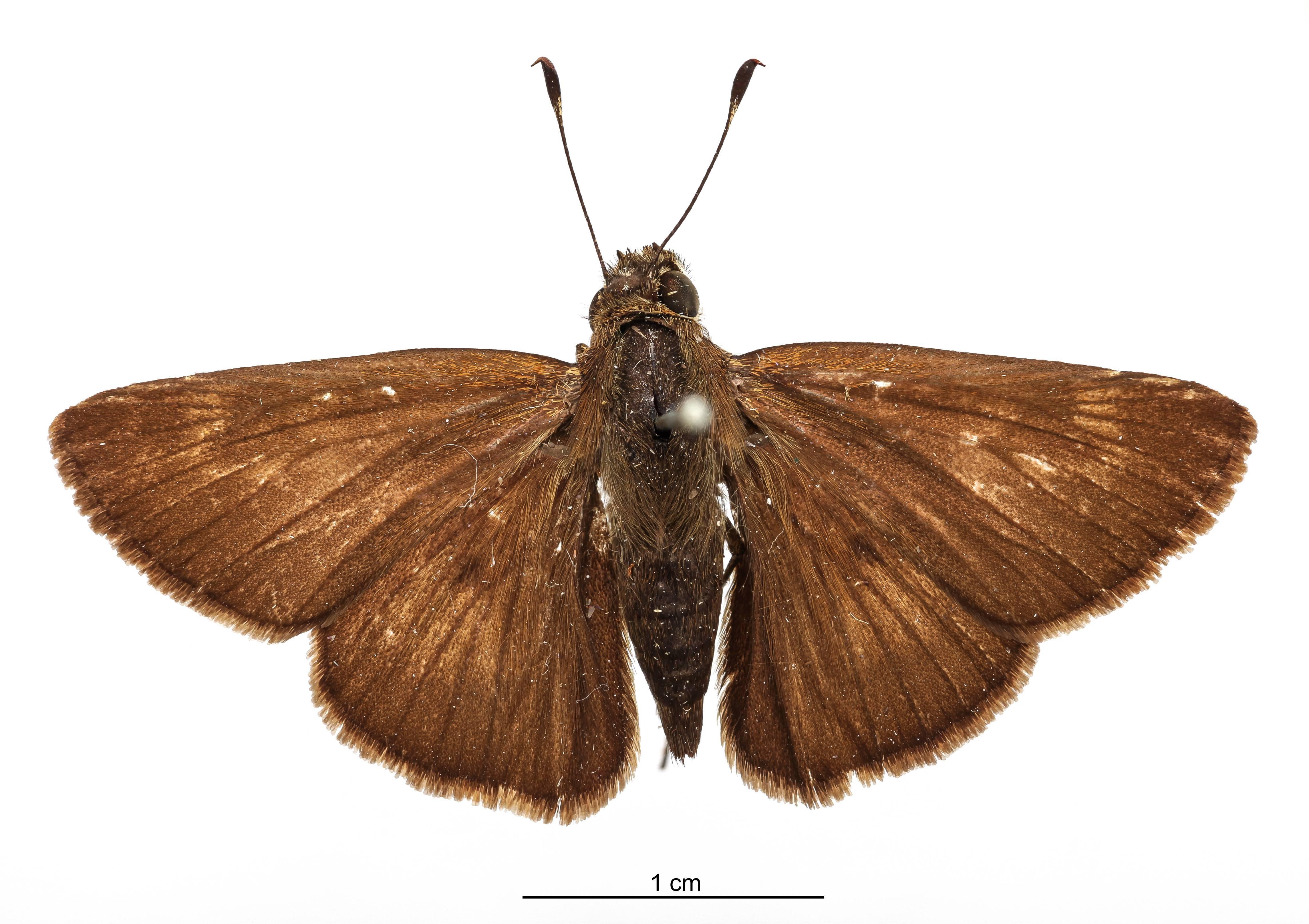 Image of <i>Atrytone paranensis</i> Schaus