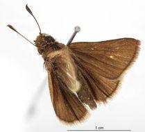 Image of <i>Atrytone urqua</i> Schaus