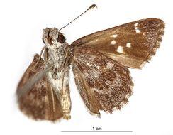 Image of <i>Lerodea tesera</i> Schaus