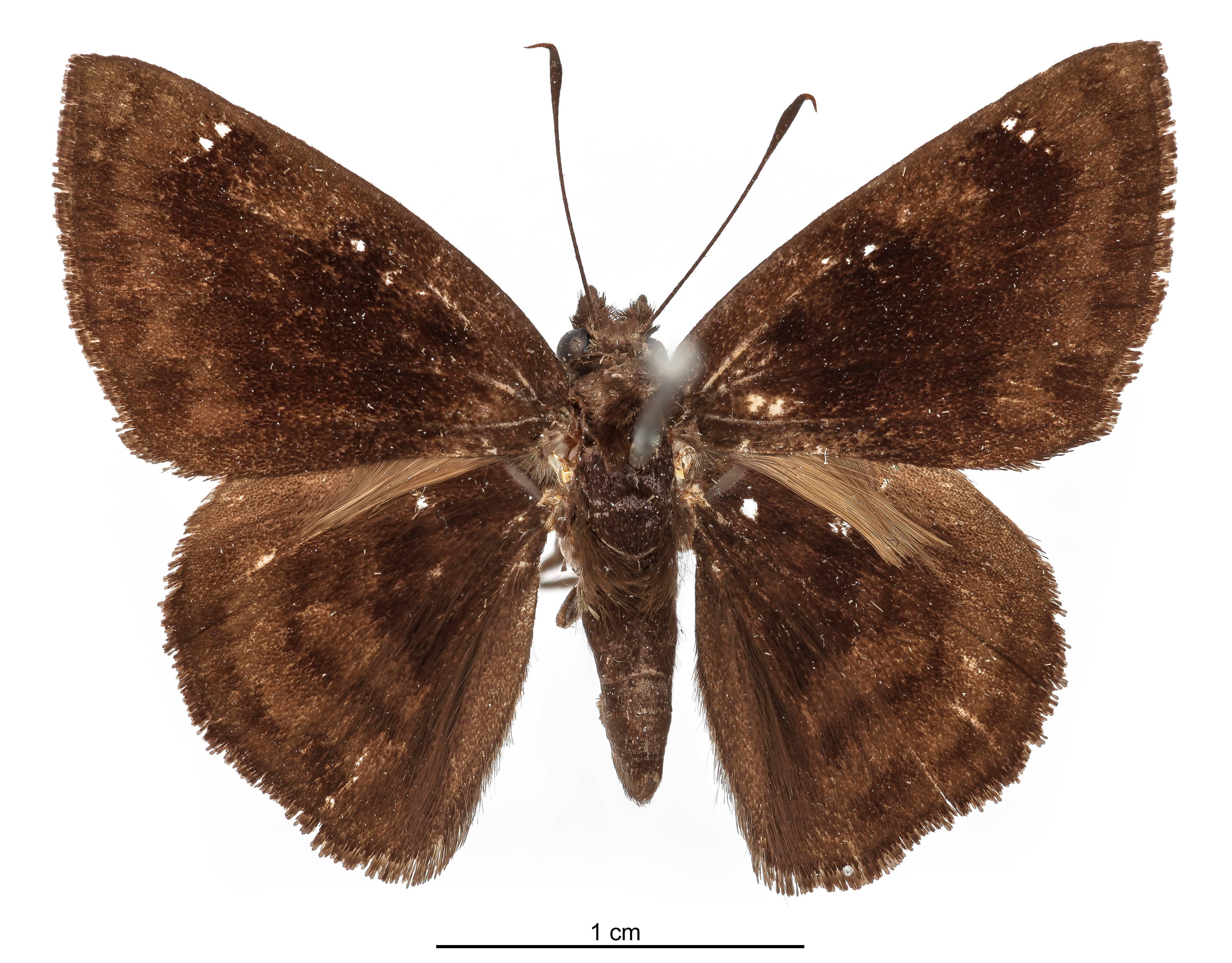 Image of <i>Pellicia bipuncta</i> Schaus