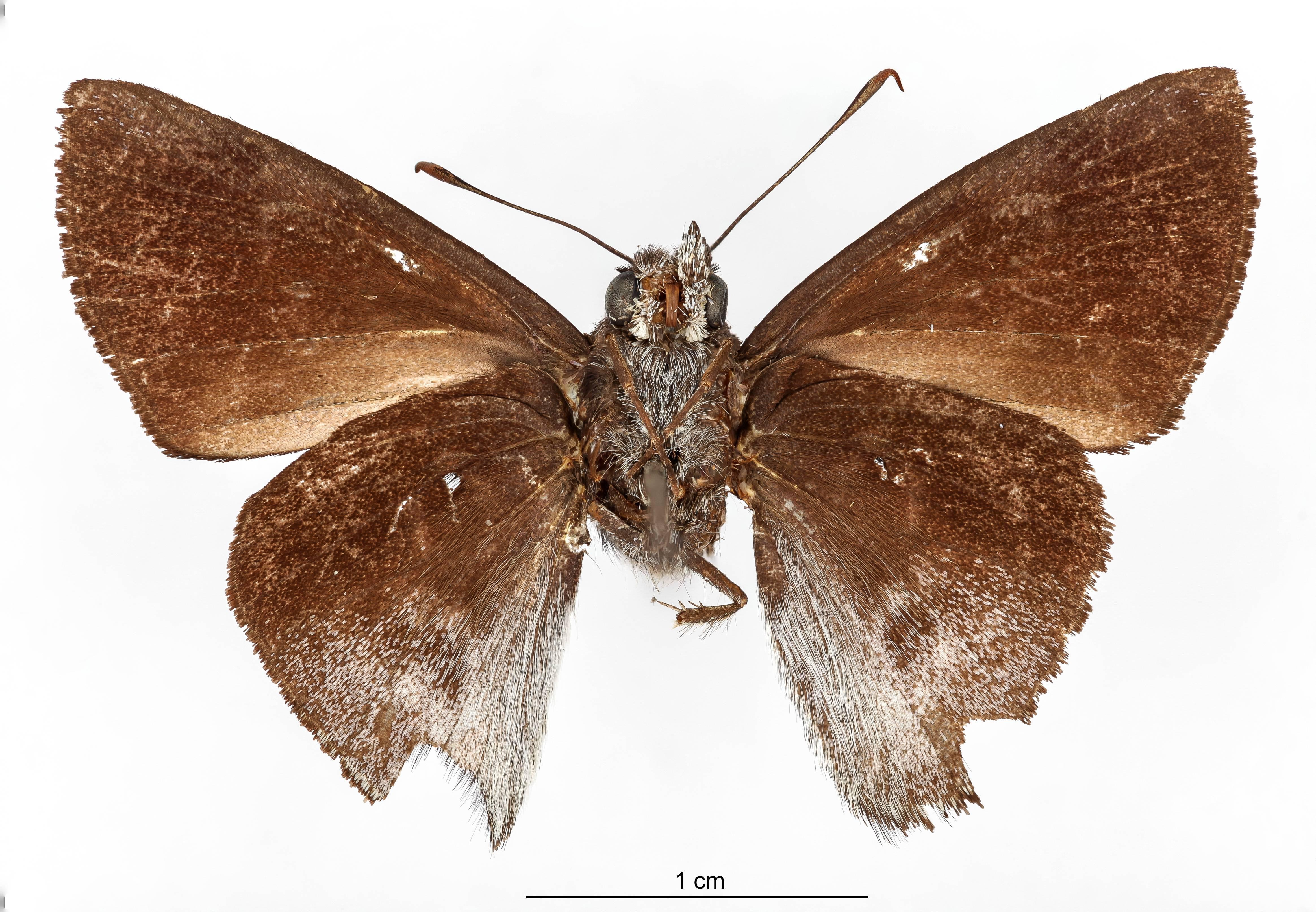 Image of <i>Pellicia vecina</i> Schaus 1902
