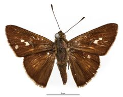 Image of <i>Phlebodes gulala</i> Schaus 1902