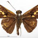 Image of <i>Phlebodes metonidia</i> Schaus