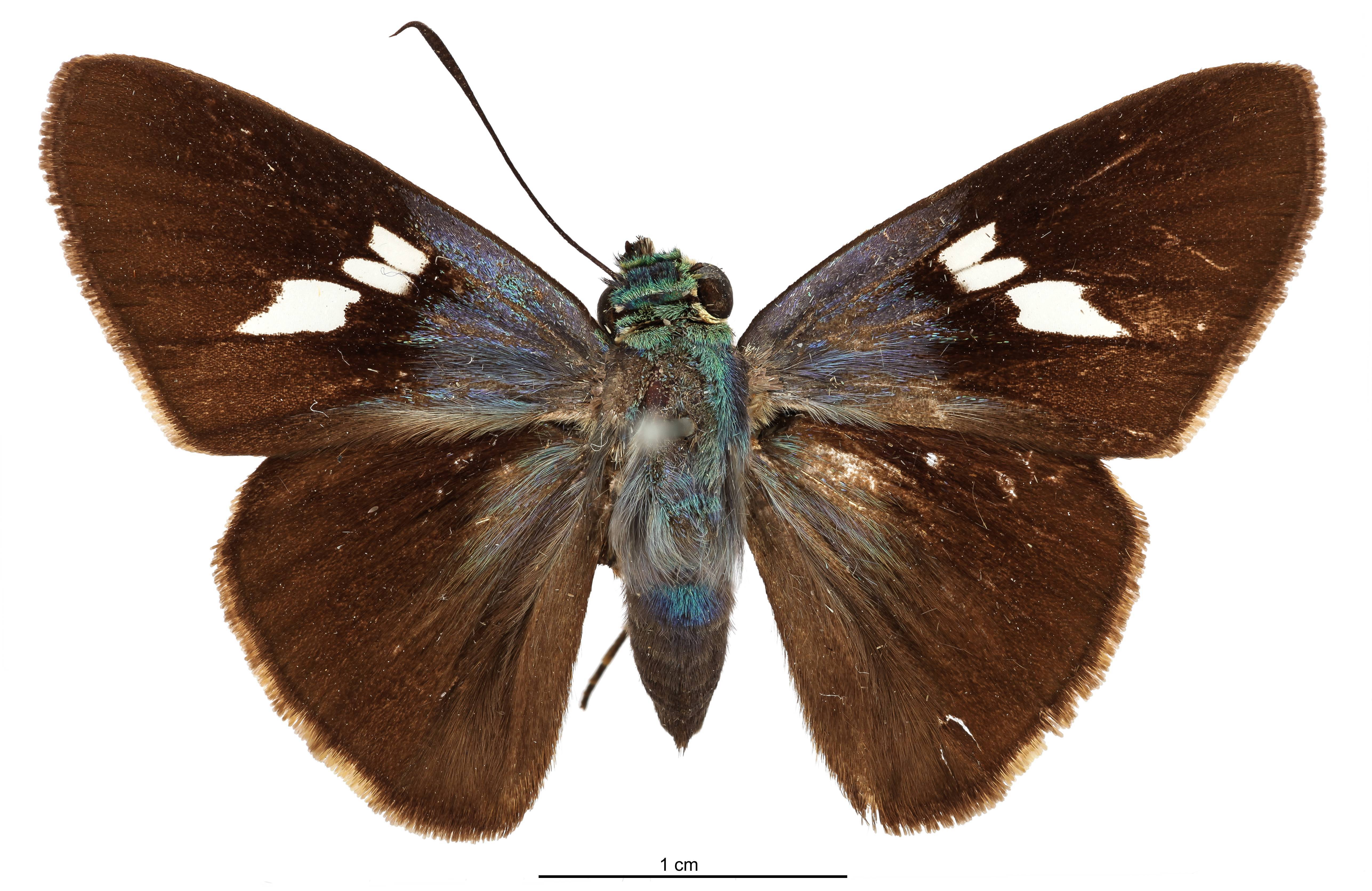 Image of <i>Thracides bajula</i> Schaus